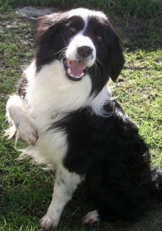 How do you adopt rescued border collie puppies?